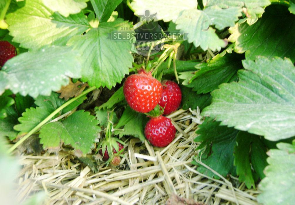 Erdbeeren selber anbauen