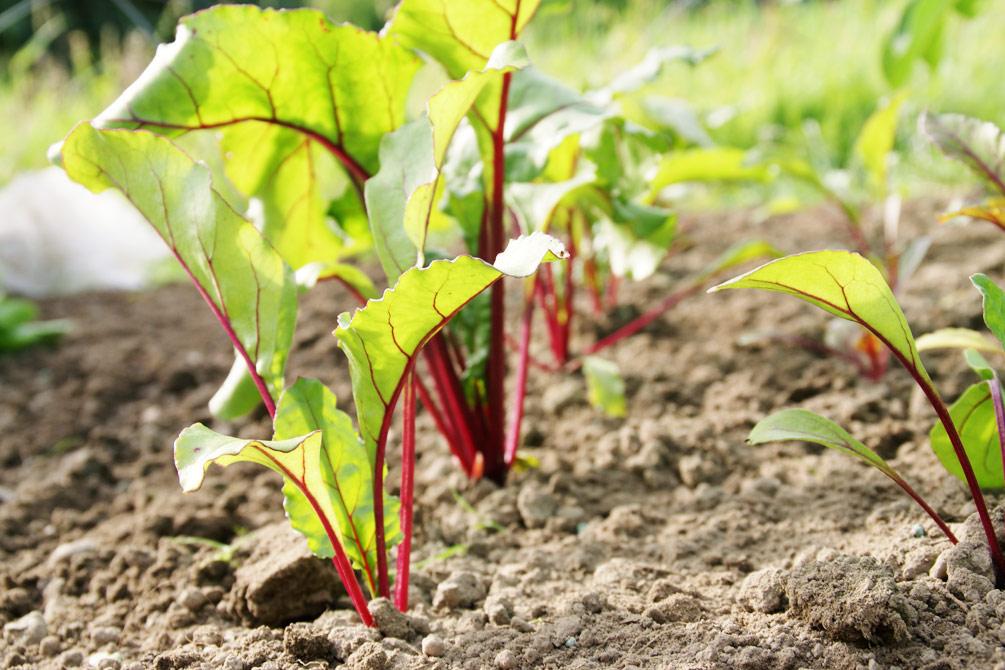 Rote Bete pflanzen