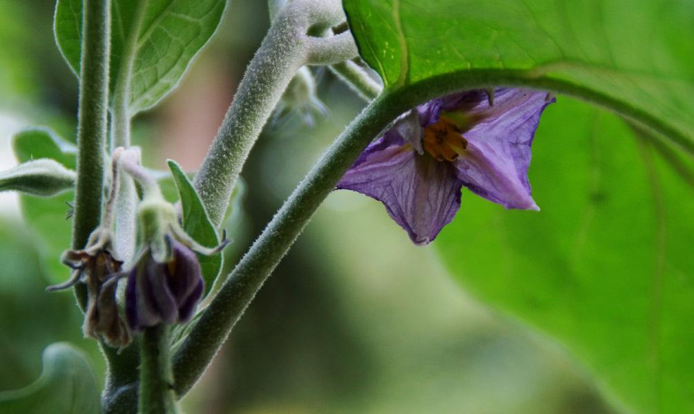 Auberginen anbauen Blüte