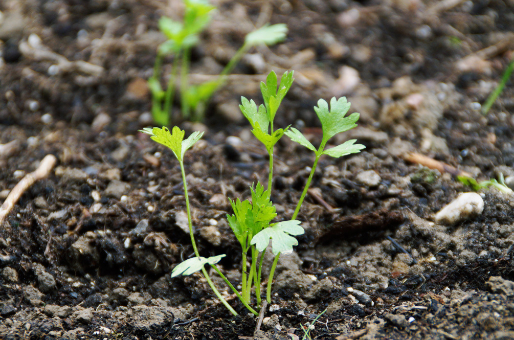 Staudensellerie - Jungpflanze