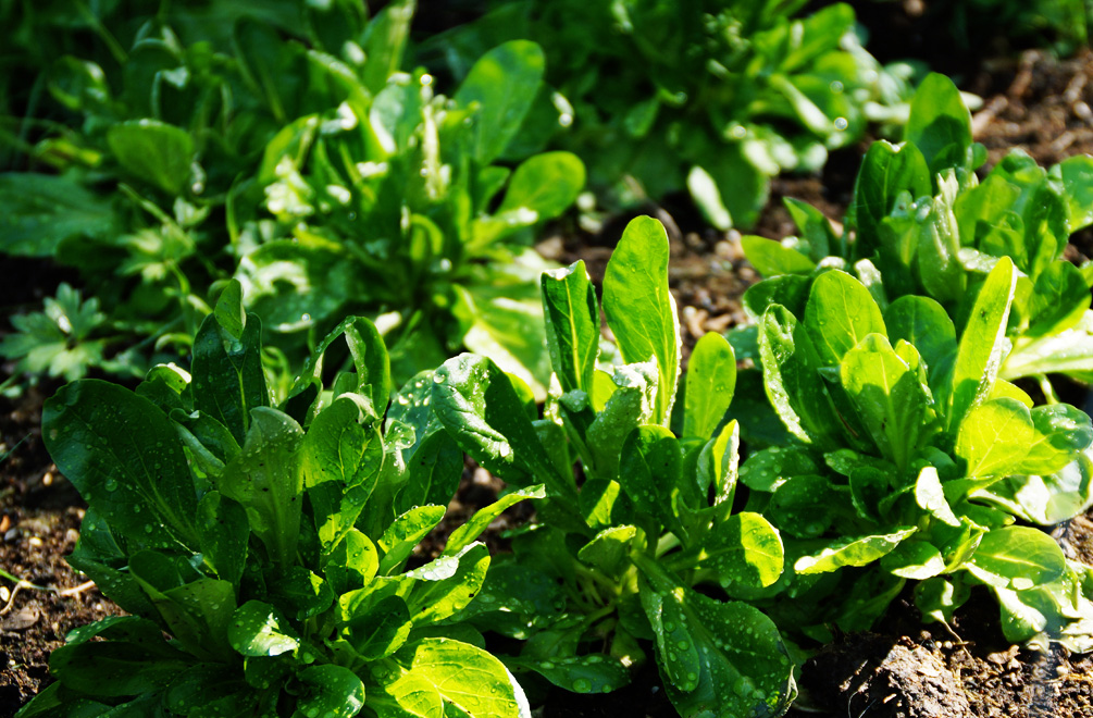 feldsalat anbauen ganzj hrig winterhart nussig und soooo gesund. Black Bedroom Furniture Sets. Home Design Ideas