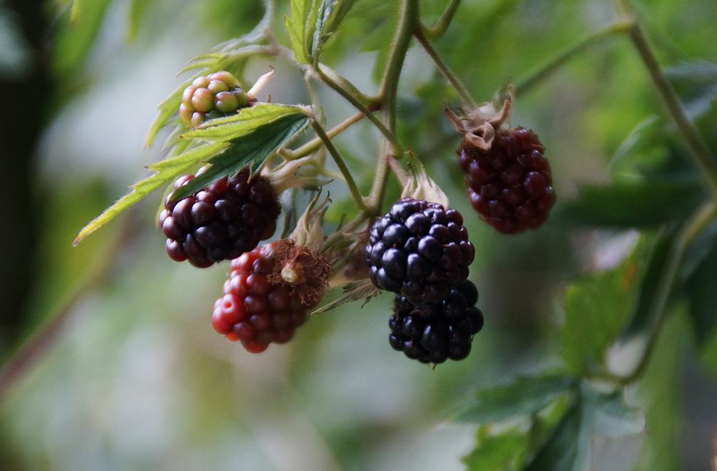 Brombeeren Anbauen Vitaminbomben Aus Dem Eigenen Garten