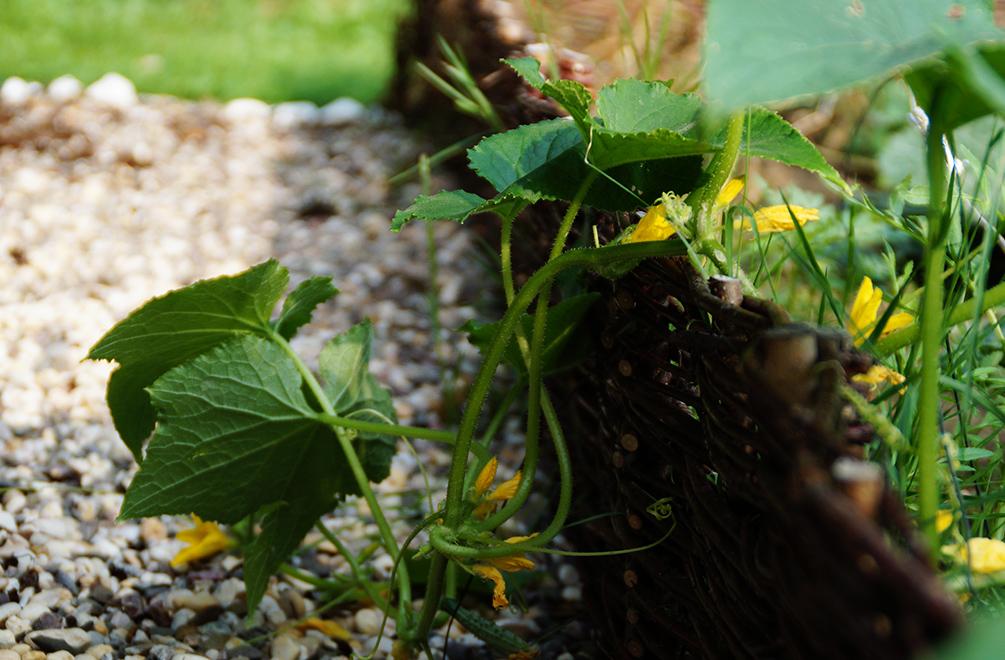 Gurken anbauen
