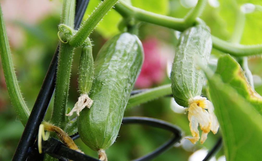 Gurken Anbauen Ertragreiche Herrlich Frische Gartenfrucht