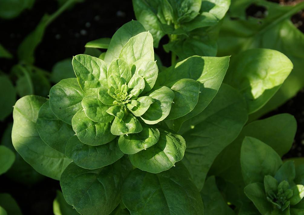 Spinat anbauen der evergreen f r selbstversorger for Pflanzen evergreen