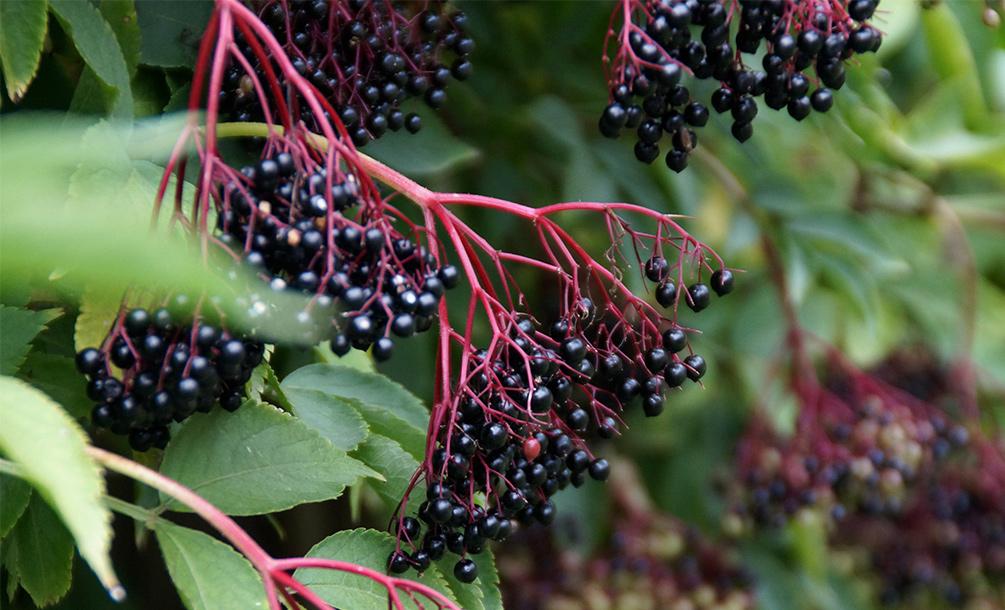 Holunderbeeren Wildfrüchte Holunder