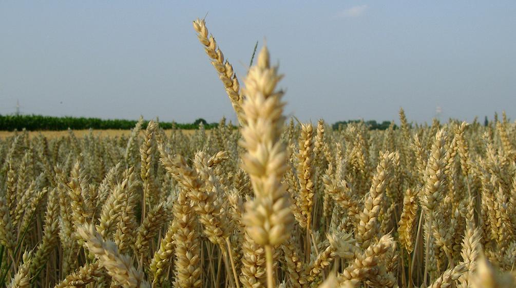 Getreideanbauen Selbstversorgung