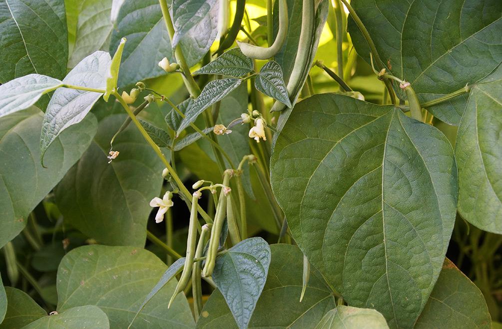 Geliebte Buschbohnen anbauen - Sehr lecker und extrem ertragreich #MI_27