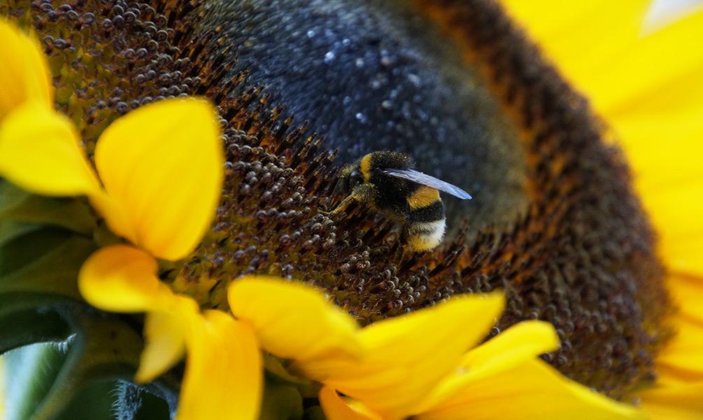 Wespen vertreiben Hummel auf Sonnenblume