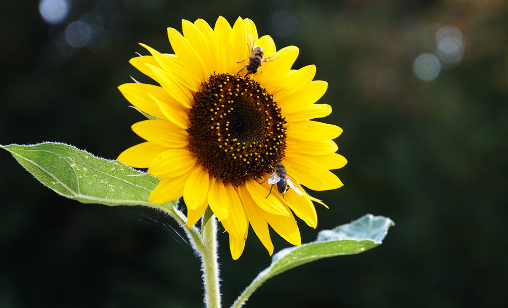 Sonnenblumen anbauen
