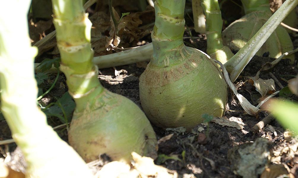 Steckrüben Ernte