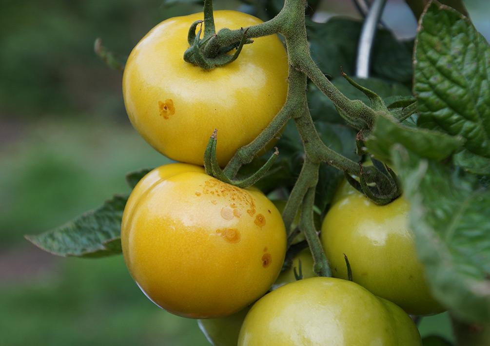 Tomaten Pilz Braunfäule