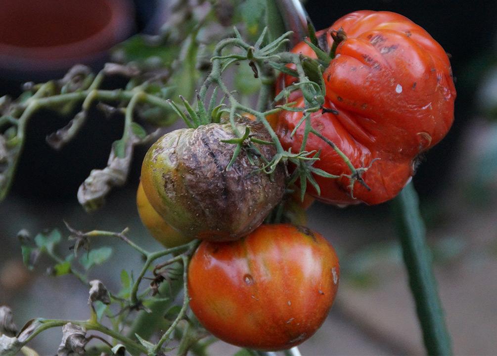 Pilz an Tomaten