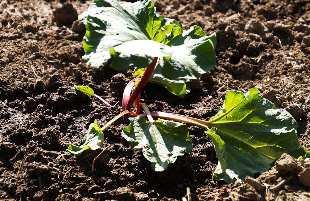 Rhabarber Pflanze
