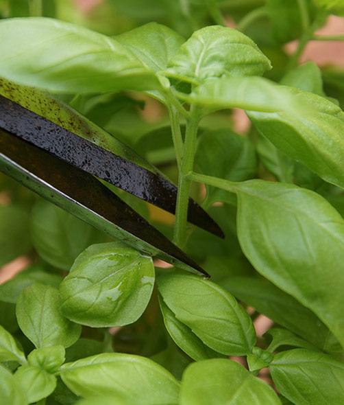 Basilikum pflanzen ernten
