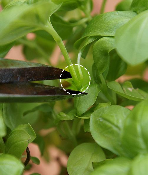 Basilikum pflanzen schneiden