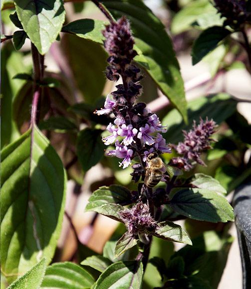 Wespen vertreiben Buschbasilikum