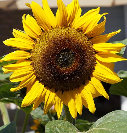 Wespen vertreiben Sonnenblume