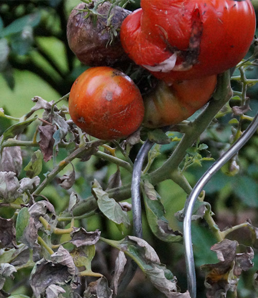 Fäulnis Tomaten