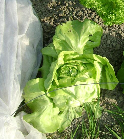 Kopfsalat anbauen