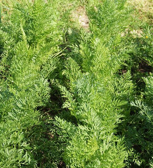 Karotten anbauen in Saatreihen